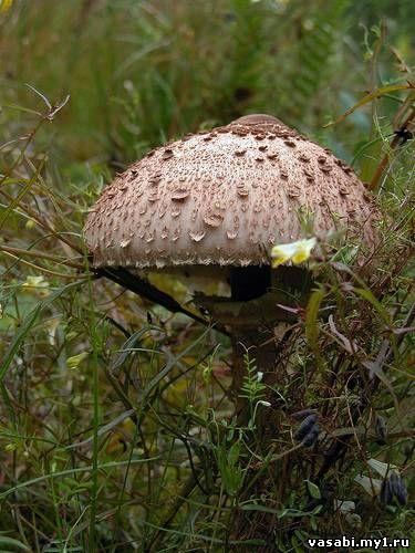 гриб зонтик пестрый
